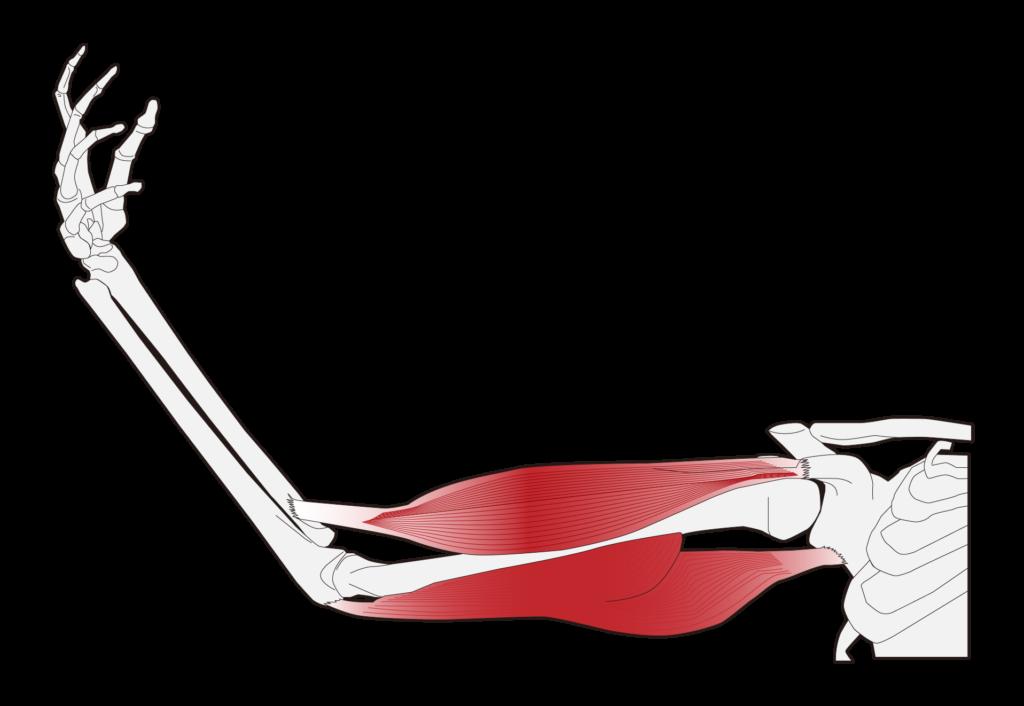 腕の骨と筋肉